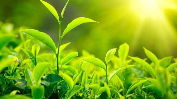 Как произрастает зеленый чай