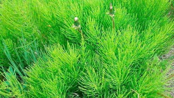 В состав хвоща полевого входит большое количество провитаминов