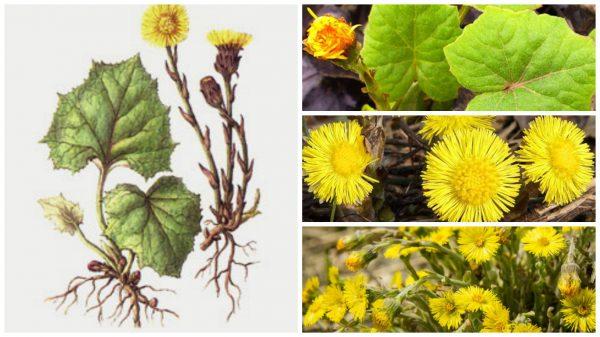 Лекарственное растение мать-и-мачеха