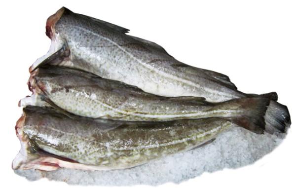 Морская рыба путассу