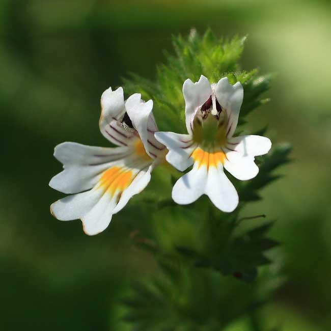 Растение очанка, фото