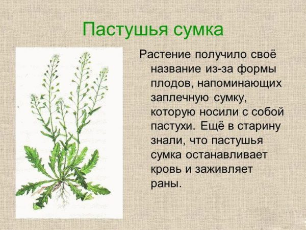 Описание лекарственного растения