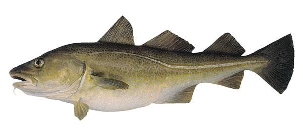 Как выглядит рыба треска