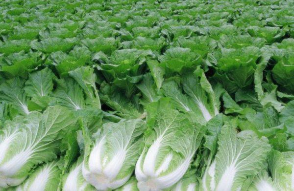 Пекинская капуста предотвращает развитие атеросклероза