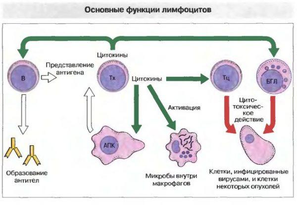 Какую функцию выполняют лимфоциты