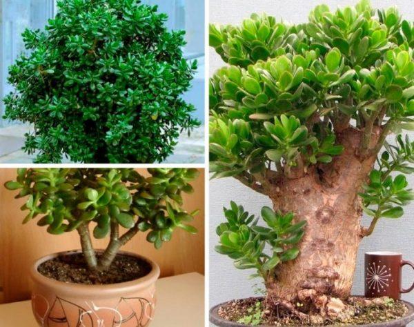 Растение лучше выращивать при рассеянном солнечном свете