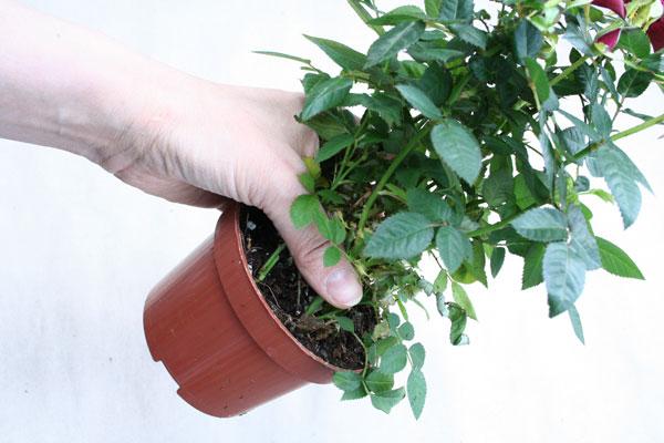 Пересадка растения должна быть своевременной