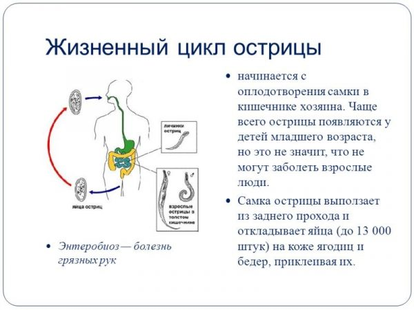 Жизненный цикл остриц