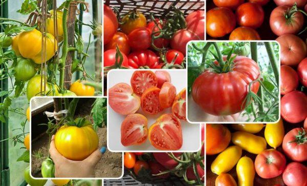 Лучшие сорта томатов для выращивания в теплице