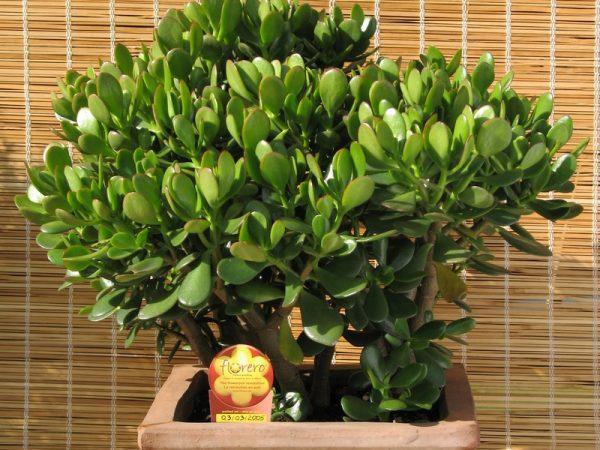 За растением очень просто ухаживать в домашних условиях