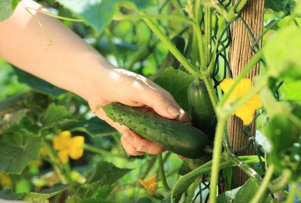 Огурцы для выращивания в открытом грунте