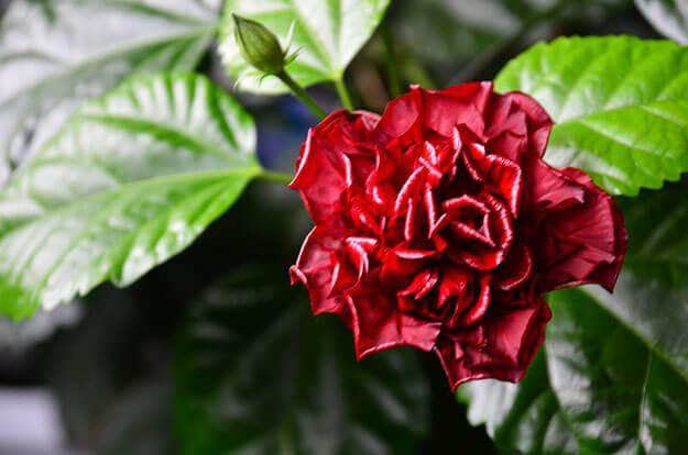 poliv-kitajskoj-rozy