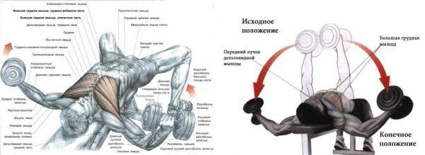 Жим гантелей лежа на горизонтальной скамье Источник: http://athleticbody.ru/kak-nakachat-grudnye-myshtsy-gantelyami.html © athleticbody.ru