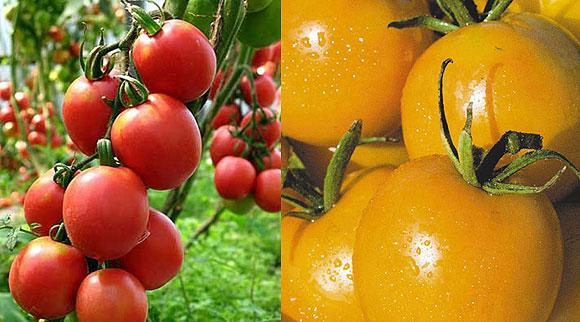 Какие томаты больше подходят для выращивания в теплице