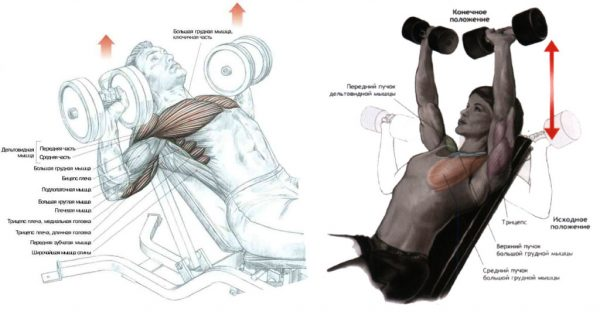 Упражнения для мышц груди с гантелями Источник: http://athleticbody.ru/kak-nakachat-grudnye-myshtsy-gantelyami.html © athleticbody.ru
