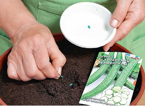 Садить семена огурцов лучше в конце марта