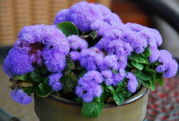 Агератум популярное цветущее растение