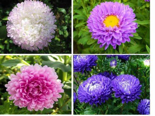 Разные сорта астры садовой