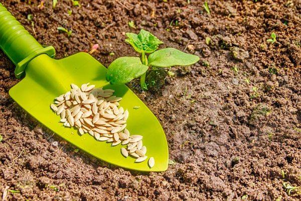 Когда садить семена огурцов по лунному календарю