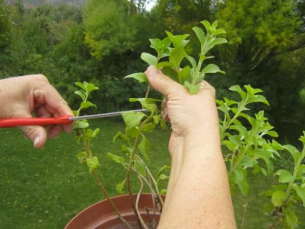 Можно выращивать растение в домашних условиях