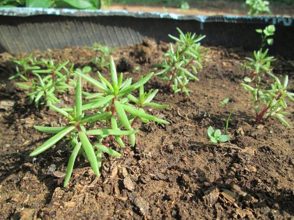 Посев в открытый грунт проводиться в начале месяца