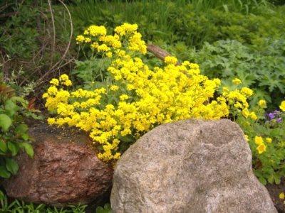 Желтый алиссум