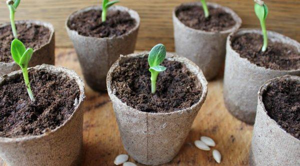Середина апреля больше всего подходит для посадки семян огурцов