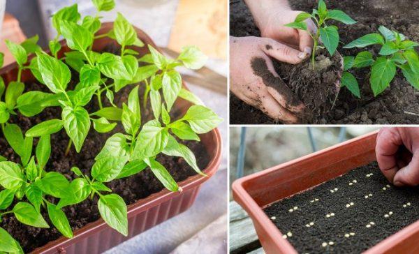 Для посева рассады нужно заранее подготовить почву