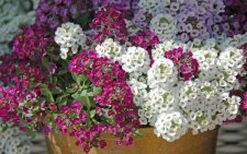 Sweet alyssum is a little tiger of a plant. New varieties like the Clear Crystal series have made this plant even more of a must-have in the cool season garden. (Photo by Norman Winter/MSU Extension Service)