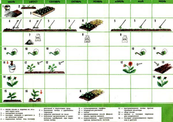 Виды и сроки работ при выращивании виолы