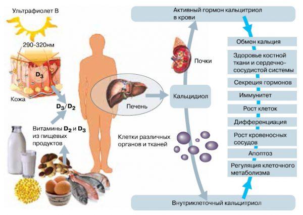 Витамин Д в организме человека