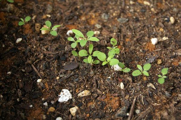Выращивание алиссума рассадным способом