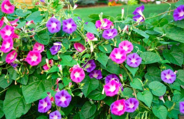 Как выращивать ипомею в открытом грунте