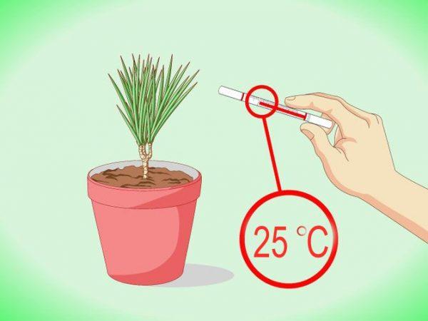 При какой температуре выращивать драцену