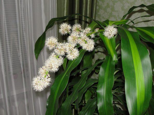 Драцена во время цветения