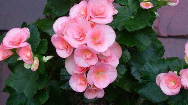 Бегония розовая