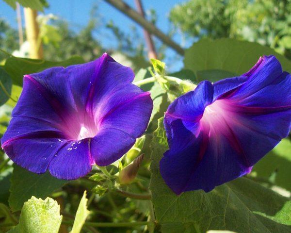 Ипомея - неприхотливое растение