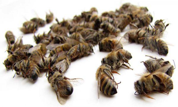 Пчелиный подмор не желательно употреблять в период беременности