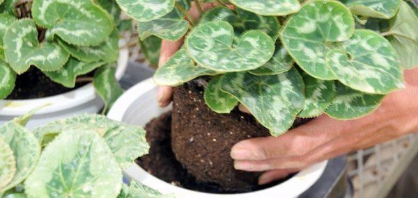 Как пересаживать растение