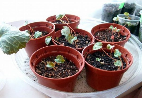 Выращивание рассады цикламенов