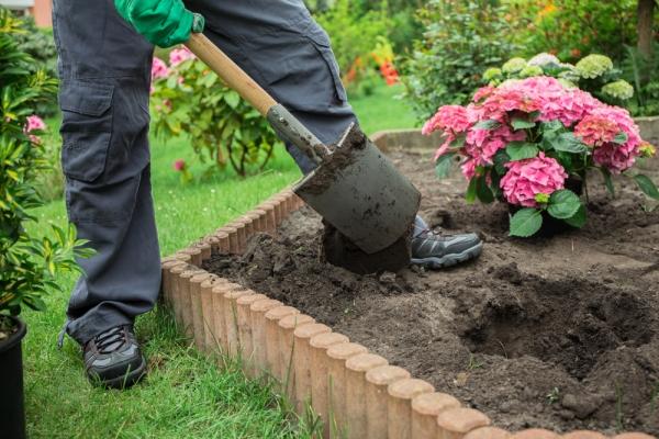 Посадка предпочитает расти на солнечном месте с кислой почвой