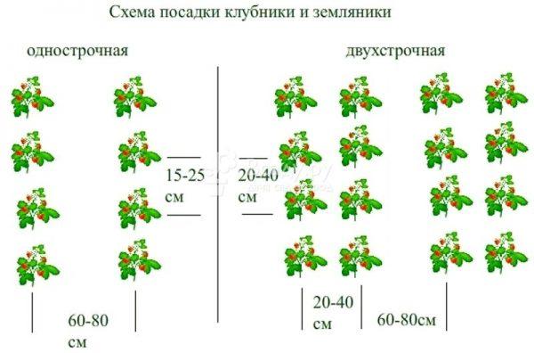 Схема посадки клубники в открытый грунт