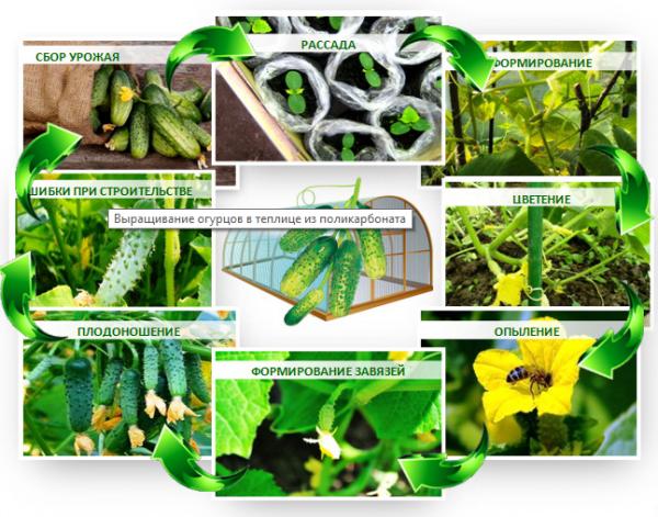 Процесс выращивания огурцов