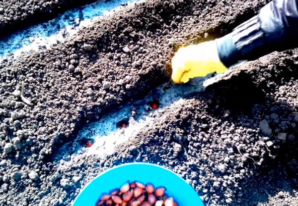 Высаживание лука в подготовленные грядки