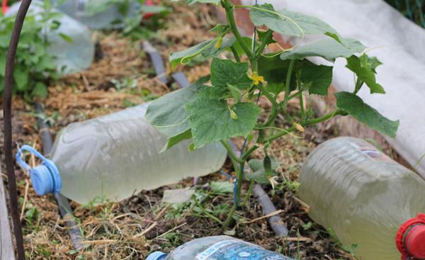 Полив растений из бутылок на боку