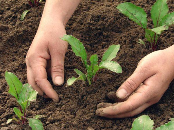 Нужно регулярно пропалывать и рыхлить почву