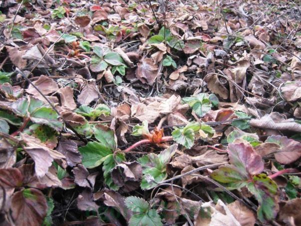 Кусты клубники весной после окончания зимнего периода