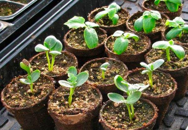 Для выращивания рассады арбуза понадобится примерно 40 дней