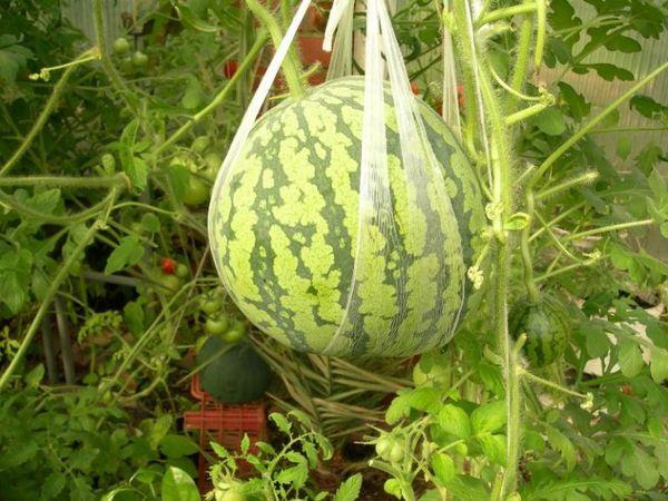 Для снижения нагрузки на плеть плоды подвешивают в сетке
