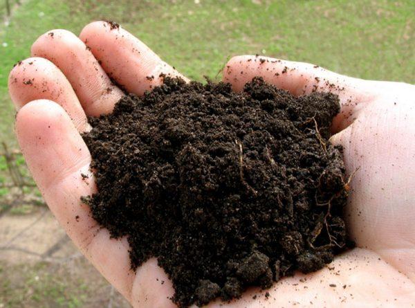 Для арбузов подходит песчаный или супесчаный грунт